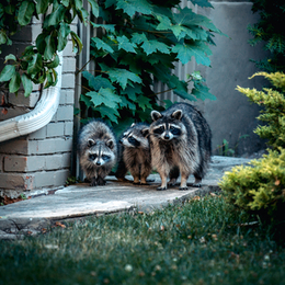Health Dept Warns About Rabid Raccoon